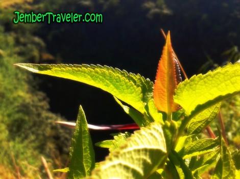 jember traveler SJ 06