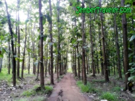 Jalan di antara Pepohonan Jati