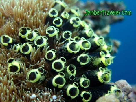 JemberTraveler Underwater Menjangan 04