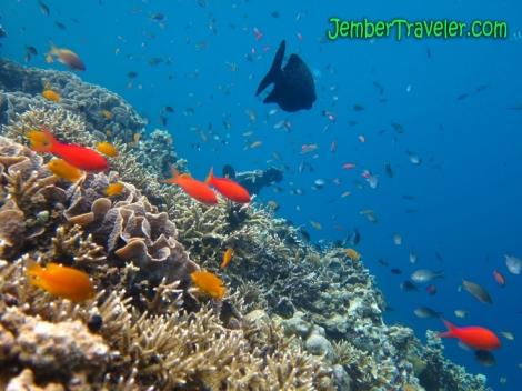 JemberTraveler Underwater Menjangan 06