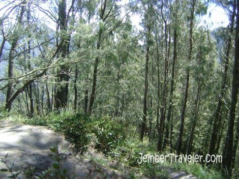Barisan pepohonan antara Cemoro Tunggal dan Arcopodo