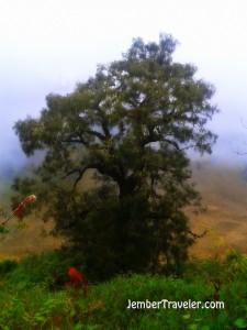 Pohon tua yang ada di bawah pos 4