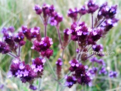 Bunga lavender di lembah sisi kanan Ranu Kumbolo