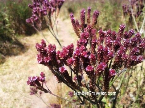 Rangkaian bunga lavender
