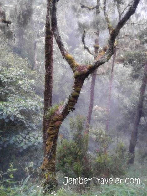 Pohon berlumut diselimuti kabut