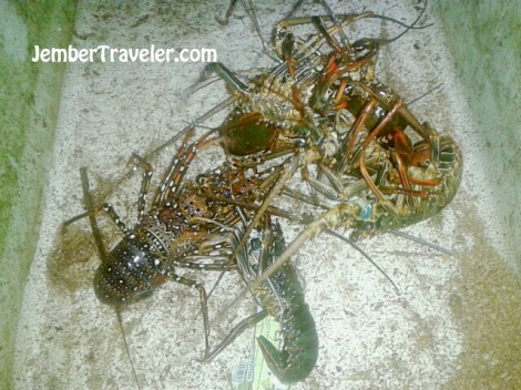 Beberapa lobster yang sudah ditimbang