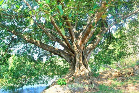Pohon Bulu