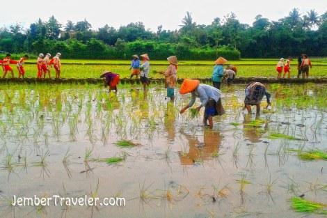 Ibu-ibu petani yang sedang menanam padi